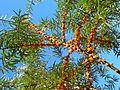 Hippophaë rhamnoides fruits2.jpg