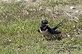 Hirundo rustica - Barn Swallow 03.jpg