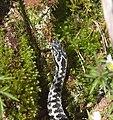 Hoggorm (Vipera berus) (7132520787).jpg