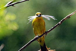 Holub's Golden-weaver.jpg