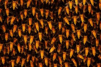 Apis dorsata - Close up of workers on a hive. The colony was being formed at the time of taking this image. Note the multiple layers of bees on top of each other.