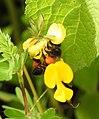 Honey Bee gathering pollen image by Dr. Raju Kasambe DSCN4801 (10).jpg