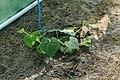 Horngurke - Kiwano - Cucumis metuliferus im Folienhaus, kletternd 01 ies.jpg
