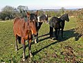 Horses near Desford in Leicestershire - geograph.org.uk - 703283.jpg