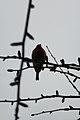 House Finch (Haemorhous mexicanus) - Simcoe, Ontario 01.jpg