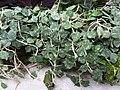 Hoya caudata.jpg
