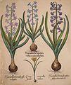 Hyacinthus orientalis floreduplici-Hyacinthus orientalis violaceo albislienis-Crocus vernus albus fundo violaceo-Hyacinthus orientalis reflexis folys colore violaceo.jpg