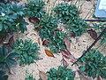 Hydrangea orto botanico milano 04.JPG