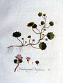 Hydrocotyle vulgaris — Flora Batava — Volume v1.jpg