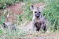 Hyena pup (2247155268).jpg