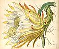 Hylocereus monacanthus (as Cereus lemairei) Curtis's Bot. Mag. 80. t. 4814. 1854.jpg
