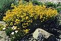 Hypericum empetrifolium ssp empetrifolium 2.jpg