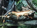 Iguana Aquarium Barcelona.jpg
