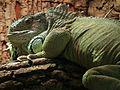 Iguana iguana Grüner Leguan.JPG