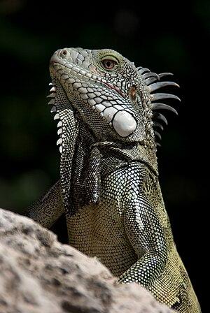 An iguana in Caribbean in 2009