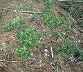 Ilex aquifolium2 ies.jpg