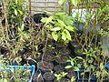 Illicium floridanum - Flickr - peganum.jpg