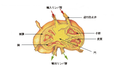 Illu lymph node structure-ja.png