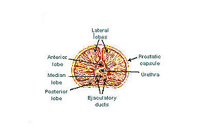 Lobes of prostate