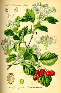 Illustration Crataegus laevigata0.jpg
