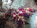 Ilumbanpuli Flower.JPG