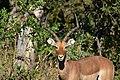 Impala, Ruaha National Park (12) (28458554470).jpg