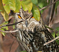 Indian Eagle Owl (Bubo bengalensis) in Bhongir, AP W2 IMG 3121.jpg