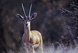Indian Gazelle (Gazella bennettii) (19726669764).jpg
