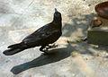 Indian Jungle Crow (Corvus culminatus) at Madhurawada 02.JPG