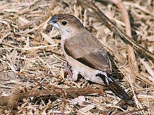 Estrildid finch - Indian silverbill, Euodice malabarica