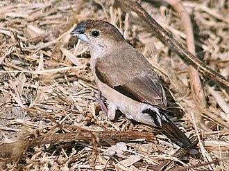Estrildidae - Indian silverbill, Euodice malabarica