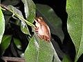 Indian Tree Frog Polypedates maculatus by Dr. Raju Kasambe DSCN0868 01.jpg