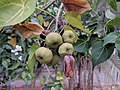 Indian tulip tree - Thespesia populnea 89.jpg