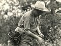 Indian woman picking huckleberries (3230033182).jpg