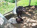Indische tapir met jong.JPG