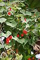 Ipomoea hederifolia02.JPG