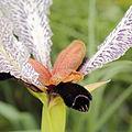 Iris paradoxa f. choschab-IMG 2196.jpg
