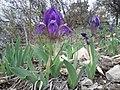 Iris pumila sl8.jpg