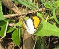 Ixias marianne– White Orange-tip 03.jpg