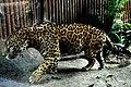 Jaguar 7372 (5000551347).jpg
