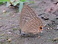 Jamides alecto Felder, 1860 – Metallic Cerulean - Begur Butterfly Survey 01.jpg