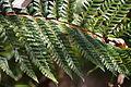 Japanese tassel fern (Polystichum polyblepharum) No.2 (16277975089).jpg