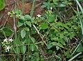 Jasminum auriculatum (Juhi) in Talakona forest, AP W IMG 8326.jpg