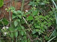 Jasminum auriculatum (Juhi) in Talakona forest, AP W IMG 8326