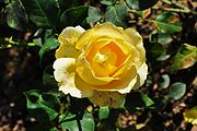 Jellow rose 4.JPG
