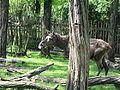 Jielbeaumadier elan europeen zoo praha 2010.jpeg