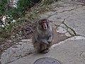 Jigokudani YaenKouen (Monky park) , 地獄谷 野猿公苑 - panoramio (1).jpg