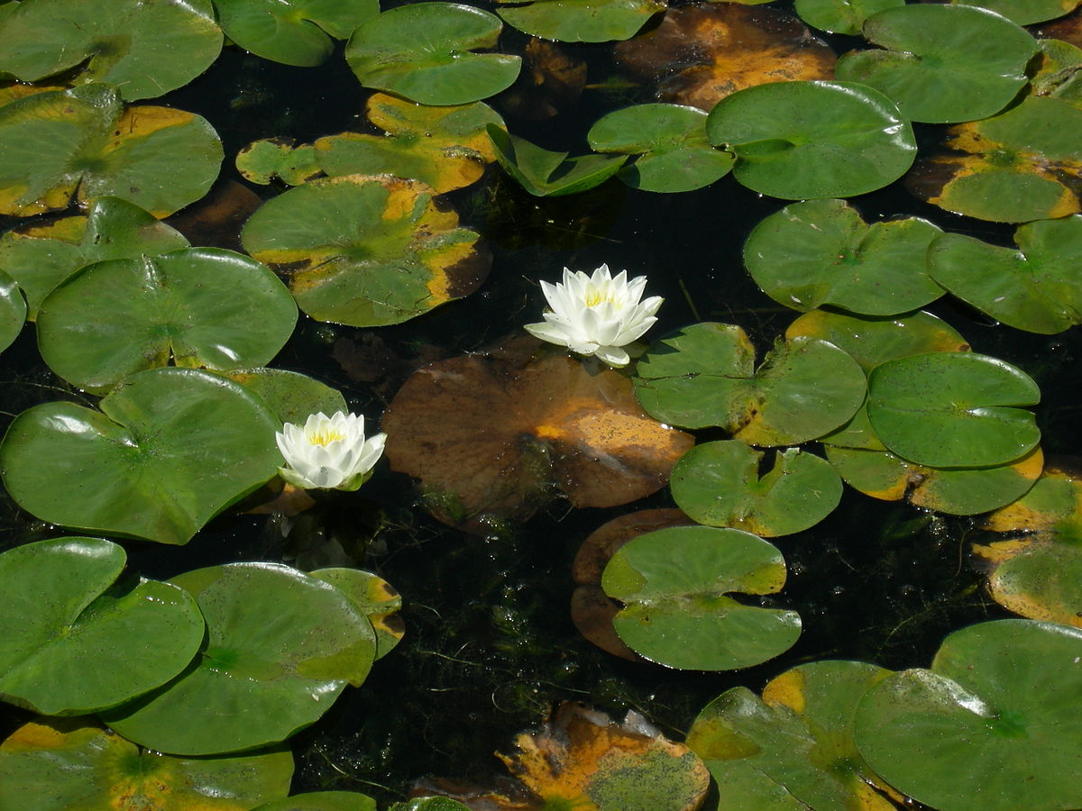 fragrant water lily wiktionary