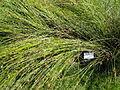 Juncus effusus - Botanical Garden in Kaisaniemi, Helsinki - DSC03517.JPG