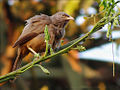 Jungle Babbler India.JPG